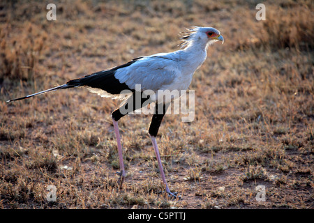 Secretary bird (sagittarius serpentarius), Serengeti National Park, Tanzania - Stock Photo