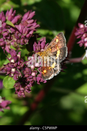 Mint Moth, Pyrausta aurata, Crambidae, Lepidoptera.  A Day Flying Snout Moth Feeding on Wild Marjoram, Origanum - Stock Photo