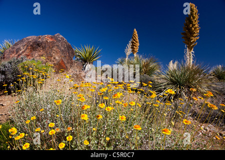 Yellow wild flowers with Mojave yucca plants, Joshua Tree National Park, California, United States of America - Stock Photo
