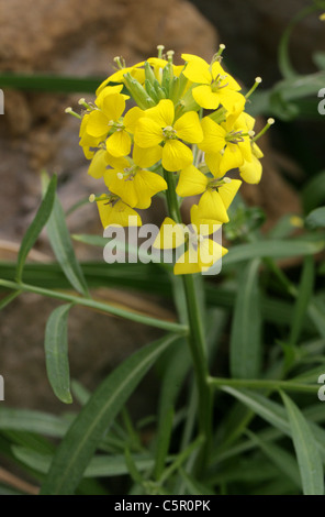 Tufted Wallflower, Erysimum rhaeticum, Brassicaceae. Central Europe. Syn. Erysimum helveticum. - Stock Photo