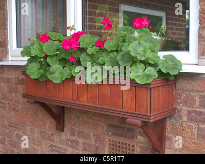 Wooden Window Box planted with Red Geraniums, UK - Stock Photo