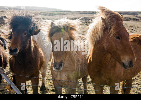 Horses in field, Iceland - Stock Photo