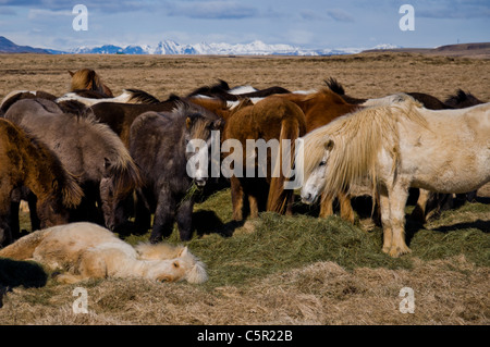 Horses in field in Iceland - Stock Photo