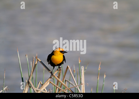 Yellow headed blackbird perched on some weeds at Bear River Bird Refuge in Utah - Stock Photo