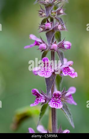 Marsh Woundwort; Stachys palustris; Cornwall; UK - Stock Photo