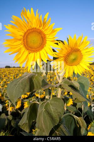 sunflowers and sky - Stock Photo