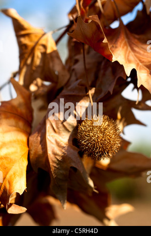 Plane Tree Branch with Fruit and Yellow Leaves - Stock Photo