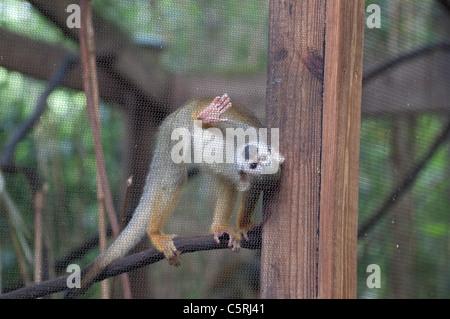 Santa Fe Teaching Zoo is part of Santa Fe College in Gainesville Florida. Squirrel Monkey- Saimari sciureus