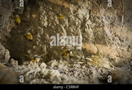 Common Wasps Yellow Jackets (Vespula vulgaris) leaving a ground mud nest - Stock Photo