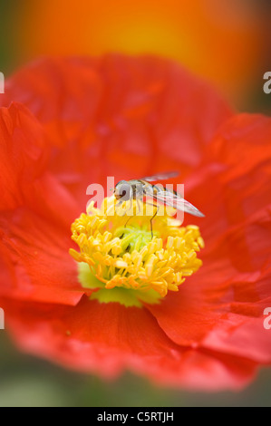 A Hoverfly, flower fly or syrphid fly on an Orange Iceland Poppy - Papaver nudicaule - Stock Photo