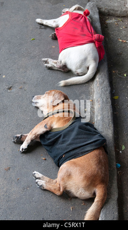 Dogs asleep on the roadway in suburban Bangkok. These animals are wearing makeshift vests after an unprecedented - Stock Photo