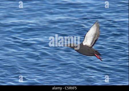 Black Guillemot - Taking off from sea Cepphus grylle Svalbard (Spitsbergen) Norway BI016796 - Stock Photo