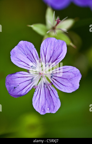 The beautiful flower Wood Cranesbill, Geranium sylvaticum, Romsdalen valley, Møre og Romsdal, Norway. - Stock Photo