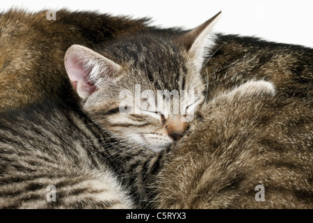 Domestic cats, cat and kitten sleeping, portrait, close-up - Stock Photo