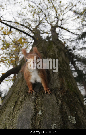 Germany, Munich, Close up of european red squirrel on tree - Stock Photo