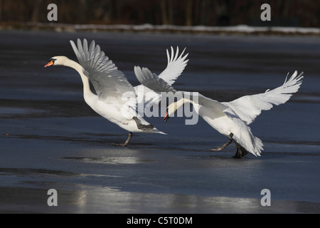Germany, Munich, Close up of greylag geese spreading wings near water - Stock Photo