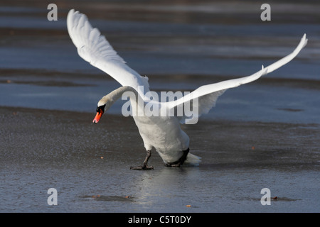 Germany, Munich, Close up of greylag goose spreading wings near water - Stock Photo