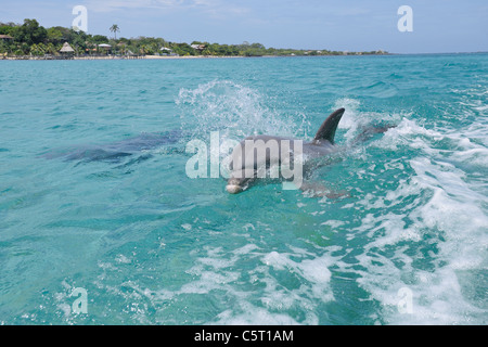 Latin America, Honduras, Bay Islands Department, Roatan, Caribbean Sea, Two bottlenose dolphins swimming in seawater - Stock Photo