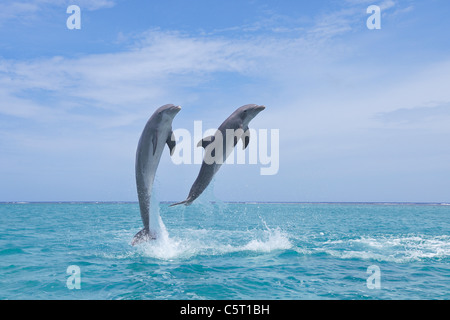 Latin America, Honduras, Bay Islands Department, Roatan, Caribbean Sea, View of bottlenose dolphins jumping in seawater - Stock Photo