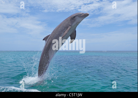 Latin America, Honduras, Bay Islands Department, Roatan, Caribbean Sea, View of bottlenose dolphin jumping in seawater - Stock Photo