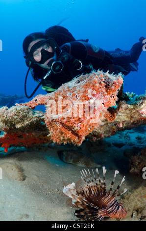 Giant frogfish, Nuweiba, Sinai, Egypt, Red Sea, Indian Ocean - Stock Photo