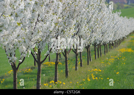 Germany, Bavaria, Franconia, View of cherry tree plantation in blossom - Stock Photo