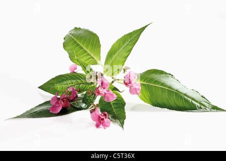 Himalayan Balsam flower (Impatiens glandulifera)