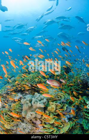 Salad coral with thousands of anthias, Nuweiba, Red Sea, Sinai, Egypt - Stock Photo