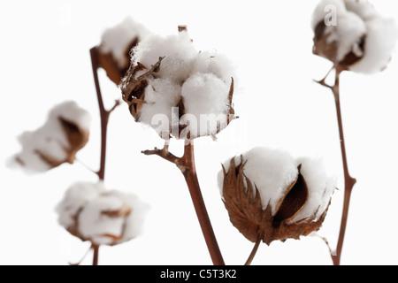 Cotton plant (Gossypium), close-up - Stock Photo