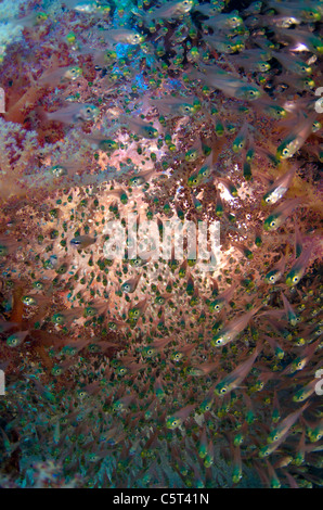 Schooling glass fish, Nuweiba, Sinai, Egypt, Red Sea, Indian Ocean - Stock Photo