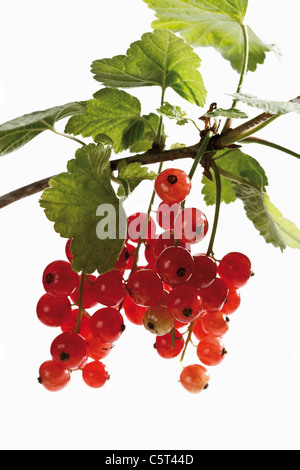 Red currants (Ribes rubrum) on branch, close-up - Stock Photo