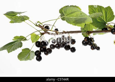 Black currants (Ribes nigrum) on branch - Stock Photo