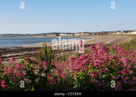 Republic of Ireland, County Fingal, Skerries, Red valerian near beachside - Stock Photo