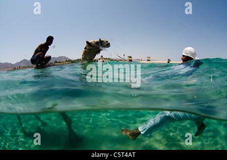 Camel having refreshing bath in Nuweiba, Red Sea, Egypt - Stock Photo