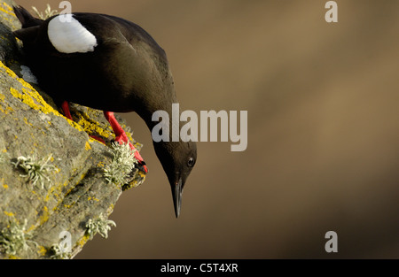 BLACK GUILLEMOT Cepphus grylle An adult looking over the edge of the cliff on which it is perched. Shetland Islands, - Stock Photo