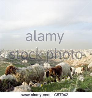 Jordan, Amman, View of the town, flock of sheep in foreground, close-up - Stock Photo