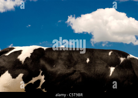 British blue bull muscular back - Stock Photo