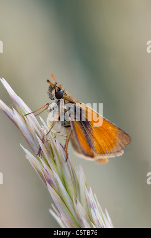 Small Skipper Butterfly; Thymelicus sylvestris; on marram grass; Cornwall; UK - Stock Photo