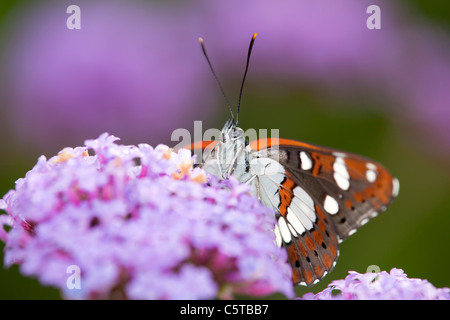 Southern White Admiral Butterfly; Limenitis reducta; captive on verbena - Stock Photo