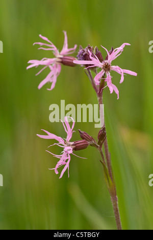 Ragged Robin, (Lychnis flos-cuculi), in wet meadow - Stock Photo