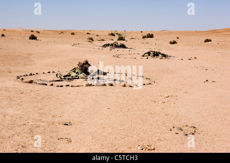 Welwitschia plants marked out by rings of stones in the Namib-Naukluft National Park. Namibia. - Stock Photo