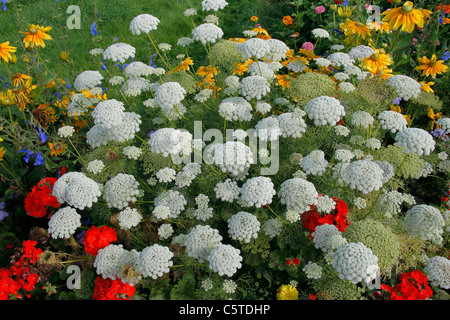 Annual flower bed : Ammi 'Queen of Africa' (Ammi majus). Stock Photo