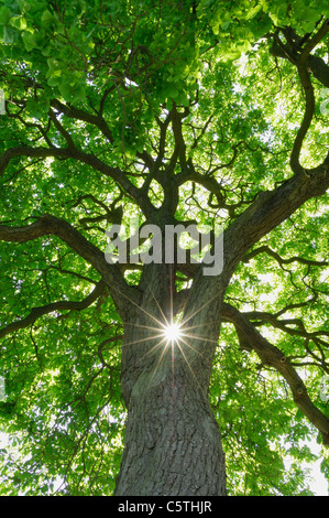 Germany, Mecklenburg-Western Pomerania, Chestnut Tree (Aesculus hippocastanum) with sun and sunbeams, low angle - Stock Photo