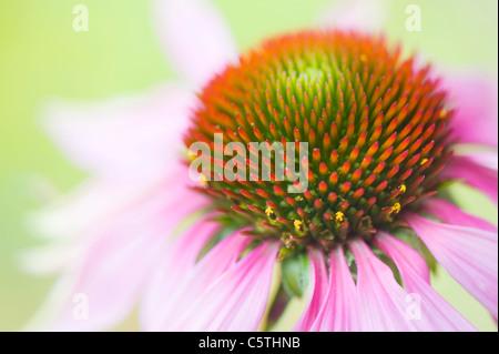 Echinacea purpurea (Eastern purple cone flowers or Purple coneflower) - Stock Photo