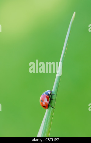 Germany, Bavaria, Seven-spot Ladybird (Coccinella septempunctata) on blade of grass, close up - Stock Photo