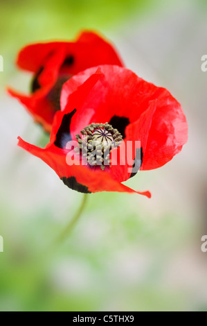 Ladybird poppy - Papaver commutatum poppies - Stock Photo