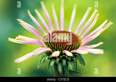 Echinacea purpurea (Eastern purple cone flowers or Purple coneflower) new flower bud opening - Stock Photo