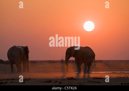 Africa, Sambia, African elephants (Loxodonta africana) - Stock Photo