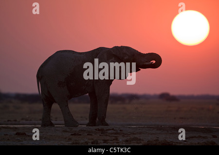 Africa, Botswana, African elephant (Loxodonta africana) at sunset - Stock Photo
