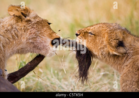 Africa, Botswana, Two lion cubs (Panthera leo) playing - Stock Photo